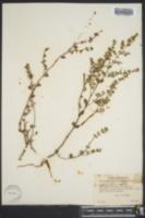 Euphorbia scopulorum image