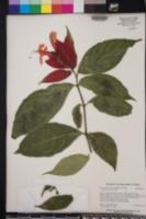 Image of Ruellia chartacea