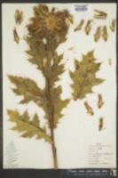 Image of Echinops amplexicaulis