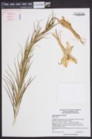 Lilium longiflorum image