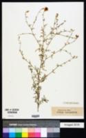 Image of Centaurea ovina