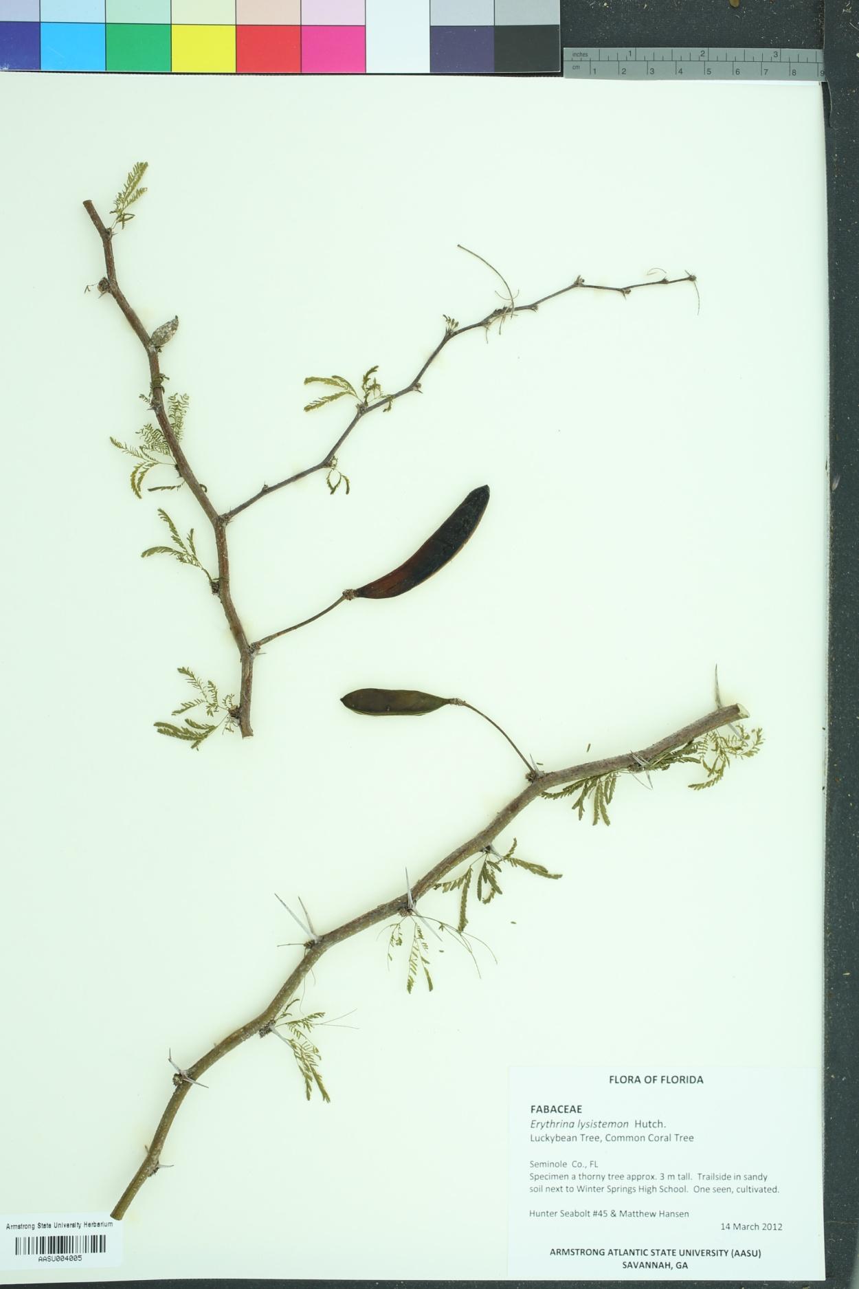 Erythrina lysistemon image