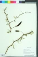 Image of Erythrina lysistemon