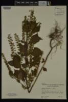 Image of Perilla frutescens