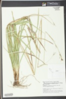 Rhynchospora megalocarpa image