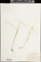 Image of Dichromena latifolia
