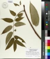 Image of Cedrela sinensis