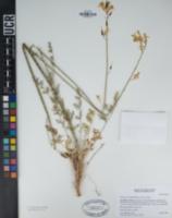 Dicentra chrysantha image