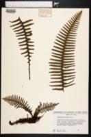 Image of Polypodium ptilodon
