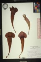 Sarracenia x naczii image