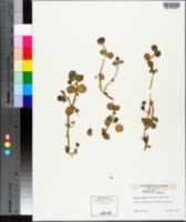 Bacopa repens image