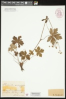 Image of Sanicula elata