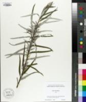 Image of Salix elaeagnos