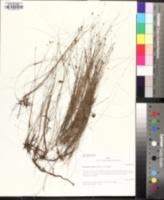 Eleocharis verrucosa image
