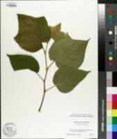 Image of Alangium platanifolium