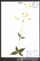 Silene stellata image