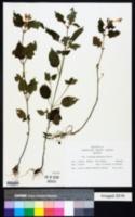 Galeopsis pubescens image