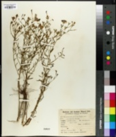 Nierembergia gracilis image