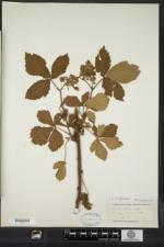 Rubus setosus image