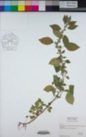 Image of Parietaria officinalis