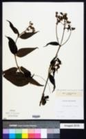 Image of Alloispermum caracasanum