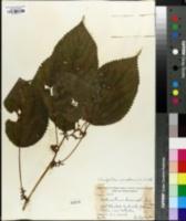 Image of Urticastrum divaricatum
