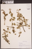 Waltheria indica image