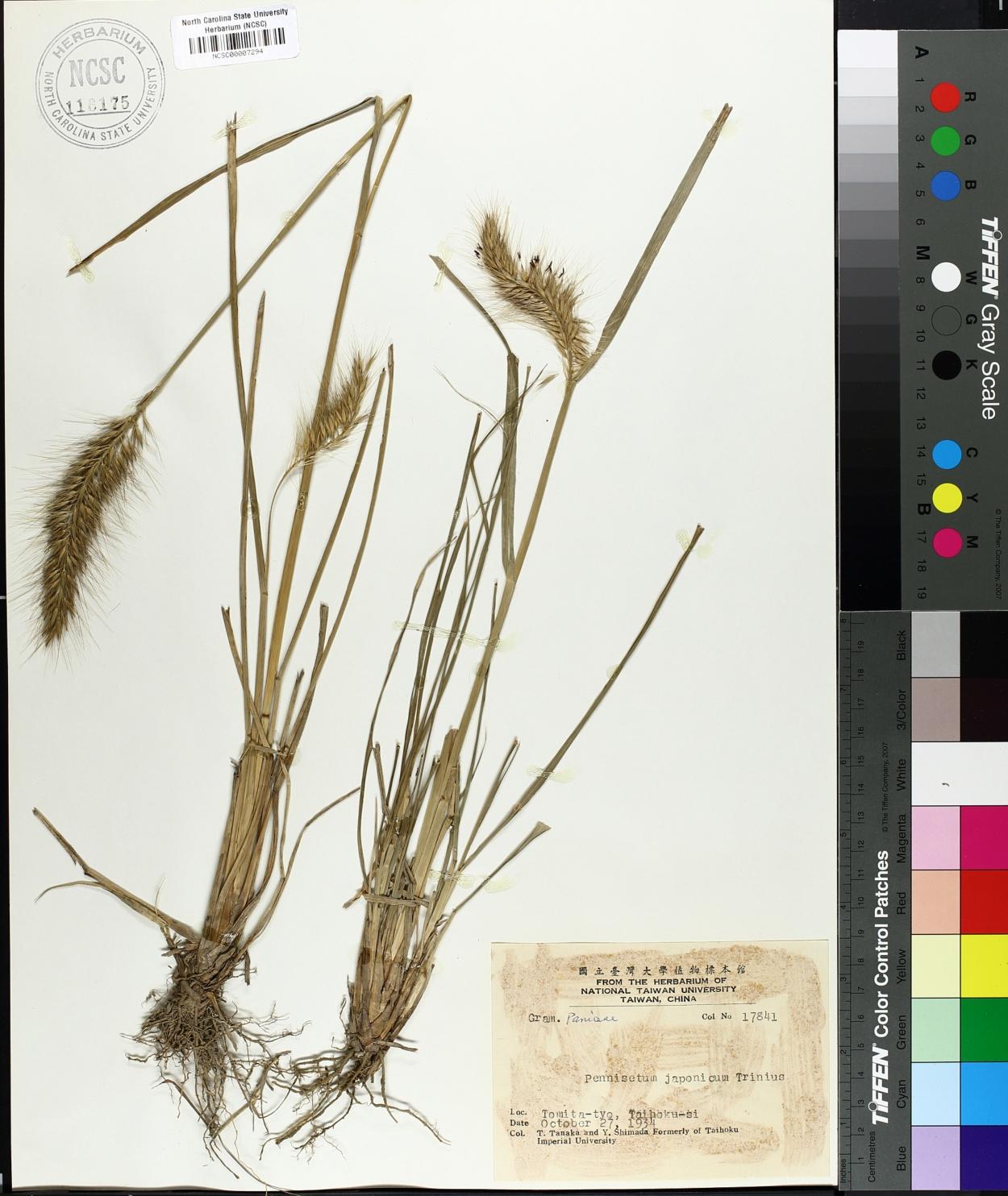 Pennisetum japonicum image