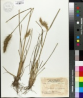 Image of Pennisetum japonicum