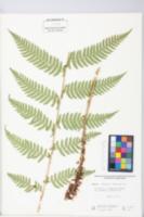 Image of Dryopteris x neowherryi