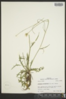Image of Hypochaeris microcephala