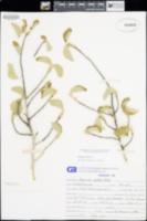 Bernardia viridis image