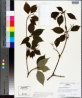 Cornus alternifolia image