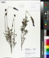 Image of Lavandula stoechas