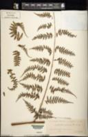 Image of Dennstaedtia articulata