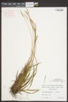 Carex amplisquama image