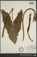 Peltandra virginica image