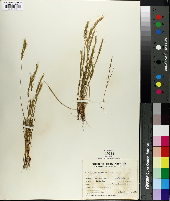 Festuca australis image