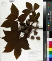 Image of Aesculus x arnoldiana