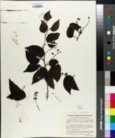 Image of Copaifera hymenaeifolia