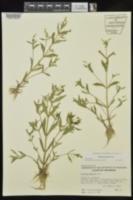 Gratiola virginiana image