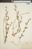 Cuphea viscosissima image