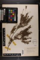 Image of Juniperus formosana