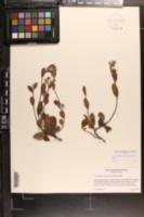 Image of Crocanthemum carolinianum