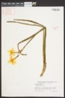 Narcissus × medioluteus image