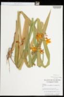 Crocosmia crocosmiiflora image