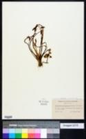 Image of Sagittaria spathulata