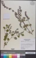 Salvia pinguifolia image