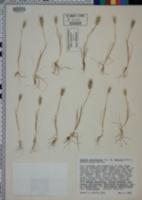 Hordeum geniculatum image
