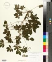Acanthopanax sieboldianus image